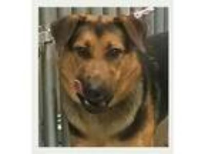 Adopt Bella-I1884 a German Shepherd Dog