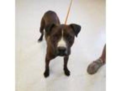 Adopt Butch a Pit Bull Terrier