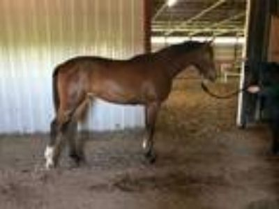 Arabian 2 yr old gelding with lovely disposition