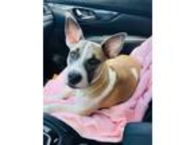Adopt Willow a Tan/Yellow/Fawn Cattle Dog / Terrier (Unknown Type