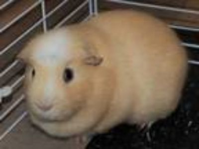 Adopt Ernie (real name) 659053 a Tan or Beige Guinea Pig / Guinea Pig / Mixed
