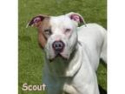 Adopt Scout a American Staffordshire Terrier, Pointer