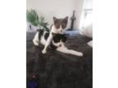Adopt Tinkerbelle a Domestic Short Hair