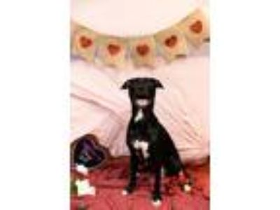 Adopt Mantis a Black - with White Doberman Pinscher / Pit Bull Terrier / Mixed