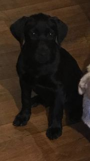 Full blood black lab