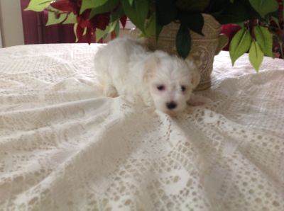 1 registered female Maltese puppy