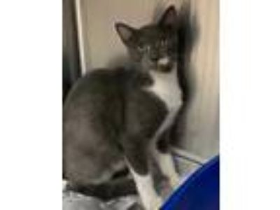 Adopt 42267377 a Gray or Blue Domestic Shorthair / Domestic Shorthair / Mixed