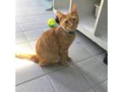 Adopt WOODY a Orange or Red Tabby Domestic Shorthair / Mixed (short coat) cat in