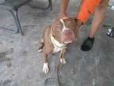 Adopt Stray, Copeland Pk, avail6/20/19 a Brown/Chocolate American Pit Bull