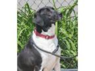 Adopt Calvin a Black - with White Bernese Mountain Dog / Labrador Retriever /