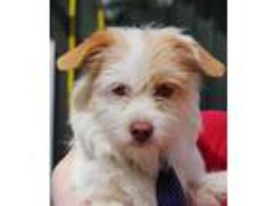 Adopt Pookie a White - with Brown or Chocolate Cairn Terrier / Shih Tzu / Mixed