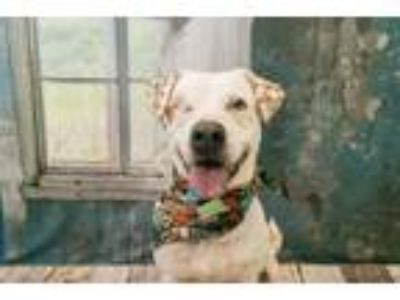 Adopt COURT a Pit Bull Terrier, Australian Cattle Dog / Blue Heeler