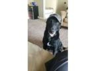 Adopt Apollo a Black - with White Labrador Retriever / Mixed dog in Owasso