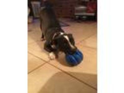 Adopt Winnie a Jack Russell Terrier