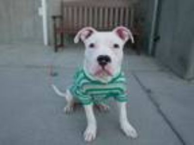 Adopt Jack White a Pit Bull Terrier