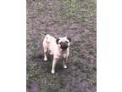 Adopt Pughead a Tan/Yellow/Fawn Pug / Mixed dog in Hillside, IL (25303780)