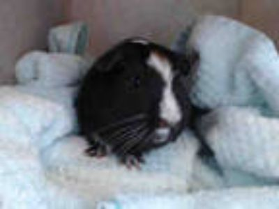Adopt OLIVER a Black Guinea Pig / Mixed small animal in Baldwin Park