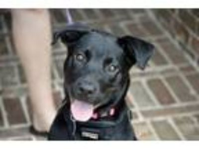 Adopt Peggy Sue a Labrador Retriever, Pit Bull Terrier