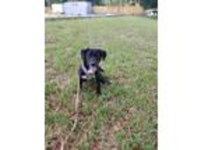 Adopt Chrissy a Black - with White Labrador Retriever dog in Tampa