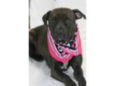 Adopt Decker a Brown/Chocolate Retriever (Unknown Type) / Mixed dog in