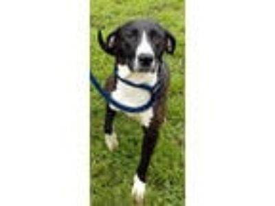 Adopt Roxie a Hound, Border Collie