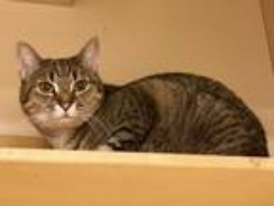 Adopt Grace a Tan or Fawn Tabby Domestic Shorthair (short coat) cat in Albany