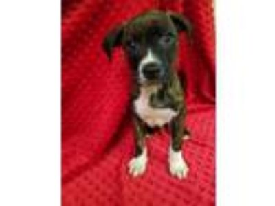 Adopt Heidi a Brindle - with White Pit Bull Terrier / Mixed dog in Quincy