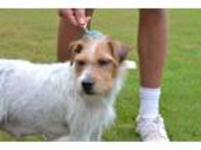 Adopt Sara a White - with Tan, Yellow or Fawn Wirehaired Fox Terrier / Mixed dog