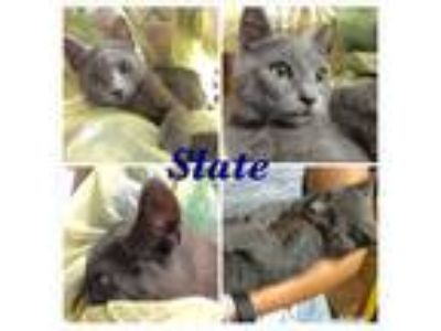 Adopt Slate a Spotted Tabby/Leopard Spotted American Shorthair (short coat) cat
