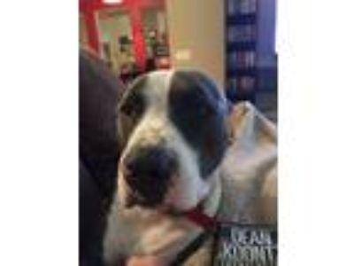 Adopt Ox a Gray/Blue/Silver/Salt & Pepper American Pit Bull Terrier / Mixed dog