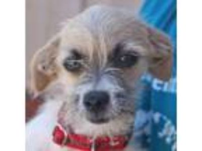 Adopt Hazel a Terrier (Unknown Type, Medium) / Mixed dog in Rancho Santa Fe