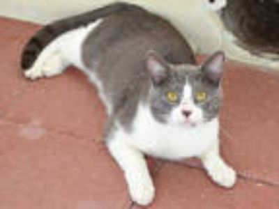 Adopt GARRISON a Gray or Blue (Mostly) Domestic Shorthair / Mixed (short coat)