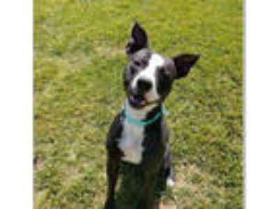 Adopt *ELVIS a Black - with White American Pit Bull Terrier / Mixed dog in