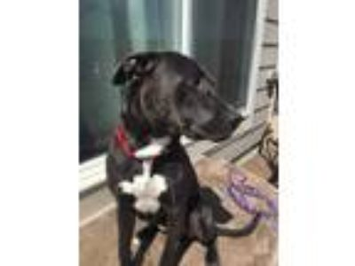 Adopt Rodney a Gray/Blue/Silver/Salt & Pepper Pit Bull Terrier / Mixed dog in