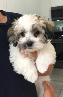 Maltipoo PUPPY FOR SALE ADN-81236 - Maltipoo boy available