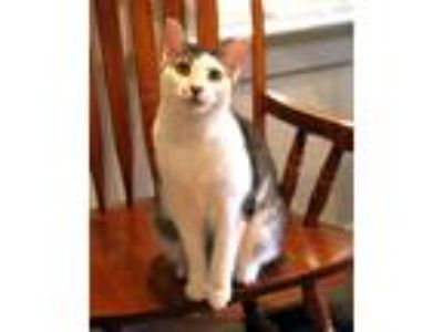 Adopt Bella a Brown Tabby Domestic Shorthair (short coat) cat in Gaithersburg