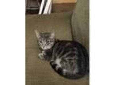 Adopt Amelia a Gray, Blue or Silver Tabby Domestic Shorthair (short coat) cat in