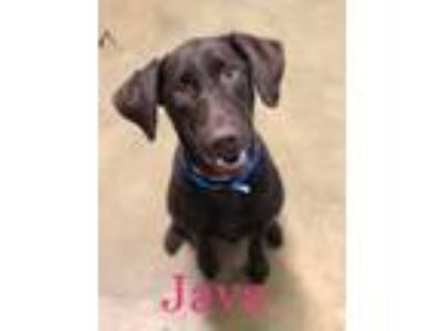 Adopt Java a Labrador Retriever