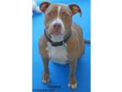 Adopt Destiny a Pit Bull Terrier