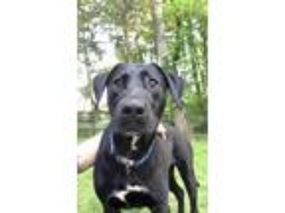 Adopt Gator a Black Labrador Retriever / Mixed dog in Glenwood, GA (25357270)
