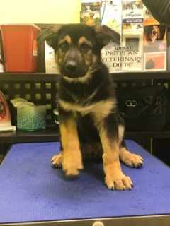 German Shepherd Dog PUPPY FOR SALE ADN-80084 - Pure Breed German Shepherds for Sale