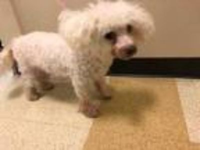 Adopt 41863834 a White Poodle (Miniature) / Mixed dog in Mesquite, TX (25472163)