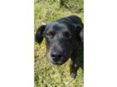 Adopt BJ a Beagle, Australian Cattle Dog / Blue Heeler