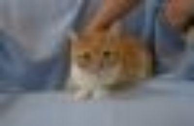 Irene Domestic Short Hair Cat