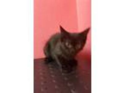 Adopt DRAGONIA a Domestic Short Hair