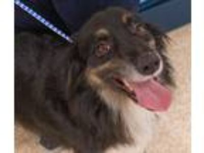Adopt Maxim a Tricolor (Tan/Brown & Black & White) Australian Shepherd / Mixed