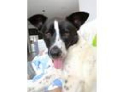 Adopt Colt a Border Collie, Cattle Dog