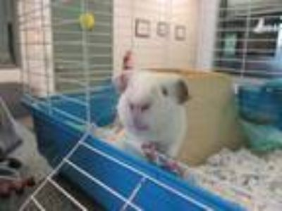 Adopt LUKE a Brown or Chocolate Guinea Pig / Mixed small animal in Waterford