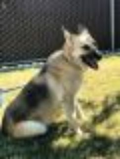 LUNA-FOSTER NEEDED!friendly and grt w/dogs,cats German Shepherd Dog Dog