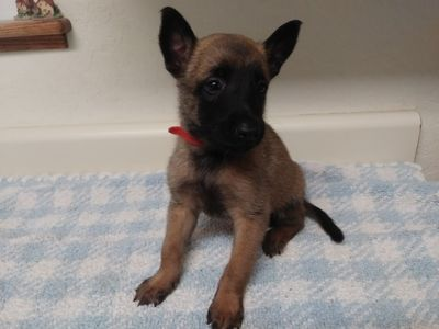 Belgian Malinois PUPPY FOR SALE ADN-89668 - AKC Malinois Puppies